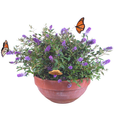 miniature buddleia buy miniature buddleia price photo miniature buddleia from gardenimport