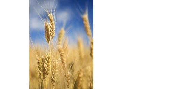Buy Barley feed