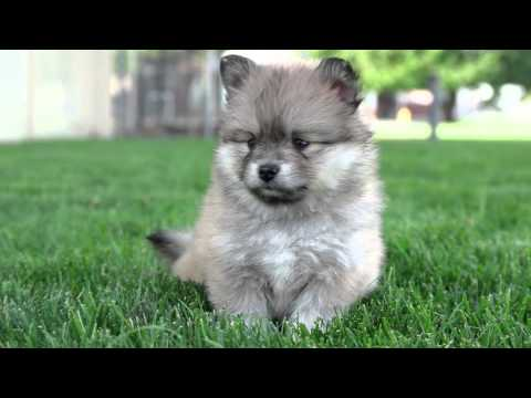 Buy Pomsky puppies ready to be re-home to lovely home