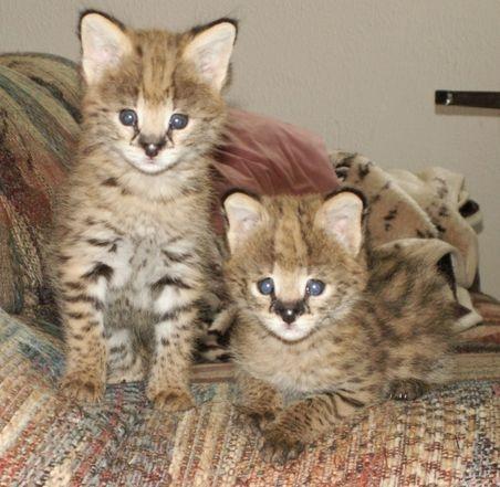 Buy F1 Savannah kittens for adoption.