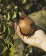 Fruits and Vagetables Pears Bosc