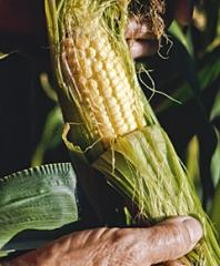 Fruits and Vagetables Corn