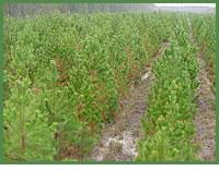 Tree breeding technology