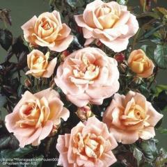 Garden Roses 