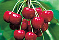 Cherries Varieties