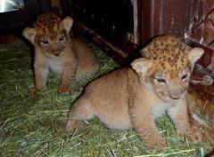 Lion cubs,cheetah cubs, tiger cubs, leopard cubs, black panther babies.
