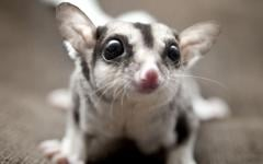 Male and female Sugar Gliders available .
