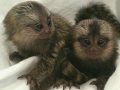 Marmoset monkeys for adoption.