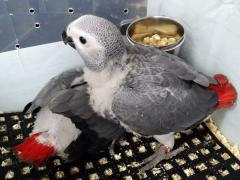 Parrots and their fertile eggs for sale .